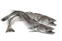 两条无须鳕鱼 免版税图库摄影