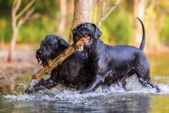 两条标准髯狗狗用一根木棍子 免版税库存图片