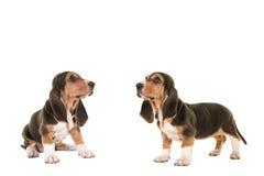 两条法国露头小狗查寻的两个 库存照片