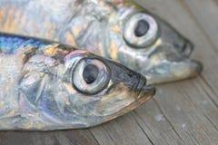 两条波儿地克的鲱鱼头特写镜头  库存图片