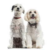 两条混杂品种狗,一起坐 免版税库存照片