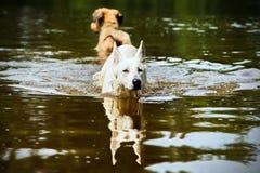 两条游泳狗 免版税图库摄影