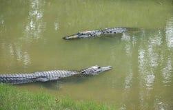 两条游泳的鳄鱼 免版税库存图片