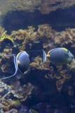 两条特性鱼游泳 库存照片