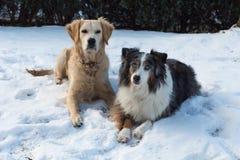 两条狗、在雪的澳大利亚牧羊人和一只金毛猎犬 免版税库存照片