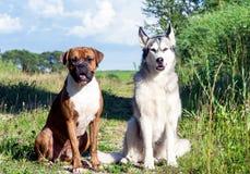 两条狗、阿拉斯加的爱斯基摩狗和德国拳击手在自然晴朗的晚上 库存图片