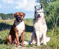 两条狗、阿拉斯加的爱斯基摩狗和德国拳击手自然晴朗的晚上开会的 图库摄影