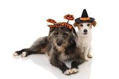两条狗万圣节 杰克罗素穿戴了作为佩带有糖果袋子的巫术师或巫婆和护羊狗一个标志头饰带 ??  库存照片