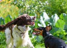 两条狗使用粗砺在草 免版税库存照片