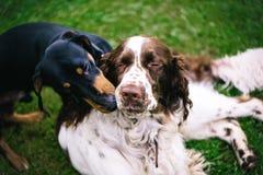 两条狗使用粗砺在草 免版税库存图片