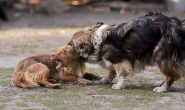 两条狗使用 红色和棕色小狗叮咬 库存照片