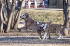 两条狗使用 免版税图库摄影