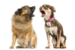两条狗呼喊 免版税库存照片