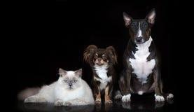 两条狗和一起摆在黑色的猫 库存图片