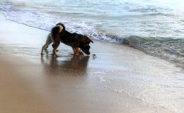 两条狗和s螃蟹 库存照片