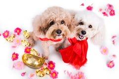 两条狗在农历新年欢乐设置白色背景中 库存照片