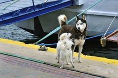 两条狗在口岸见面 库存图片