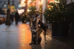 两条狗在城市拥抱,在街道上 服从的宠物 免版税库存照片