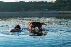 两条狗在河沐浴在日落 西伯利亚爱斯基摩人由河走在公园 多壳的狗在水中在一个热的晚上 库存照片
