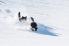 两条狗在粉末雪跑并且跳下坡 免版税库存图片