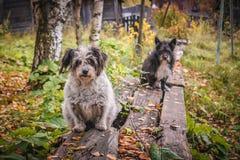 两条狗在街道上乞求 免版税库存照片