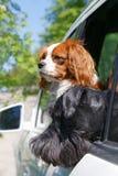 两条狗在车窗里 免版税库存照片