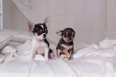 两条狗坐床 免版税库存图片