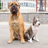 两条狗坐 免版税库存图片
