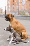 两条狗坐 免版税图库摄影