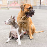 两条狗坐 库存照片