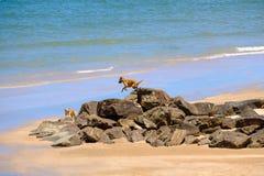 两条狗愉快地一起使用 在跳跃岩石的海A的沙子 库存图片