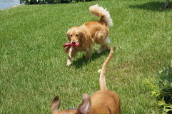 两条狗戏剧在后院 库存照片