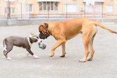 两条狗戏剧 免版税图库摄影