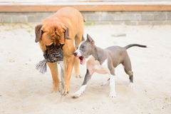 两条狗戏剧 免版税库存图片