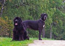 两条狗摆在 库存图片