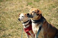 两条狗注视在NH的生活 库存图片