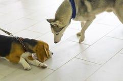 两条狗相识  库存图片