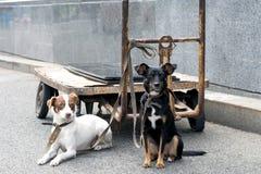 两条狗被栓对卡车在街道上站立 免版税库存图片