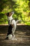 两条狗起重器罗素狗 库存图片