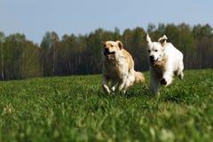 两条狗金毛猎犬乐趣奔跑 免版税库存照片