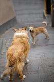 两条狗面对室外 库存照片