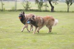 两条狗,比利时牧羊人特尔菲伦,使用与球 免版税库存图片