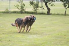 两条狗,比利时牧羊人特尔菲伦,使用与球 图库摄影