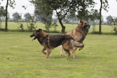 两条狗,比利时牧羊人特尔菲伦,使用在草 库存照片