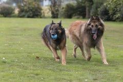两条狗,比利时牧羊人特尔菲伦 库存图片