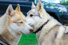两条狗:白色寻找的品种嗅的爱斯基摩和爱斯基摩 爱和柔软想法在照片 免版税库存照片