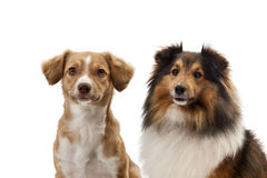 两条狗画象  免版税库存照片