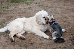 两条狗-金毛猎犬和约克夏狗在步行见面了 免版税库存照片