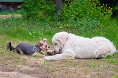 两条狗-金毛猎犬和约克夏狗在步行见面了 图库摄影