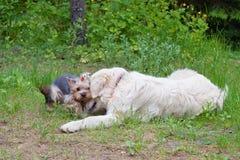 两条狗-金毛猎犬和约克夏狗在步行见面了 库存图片